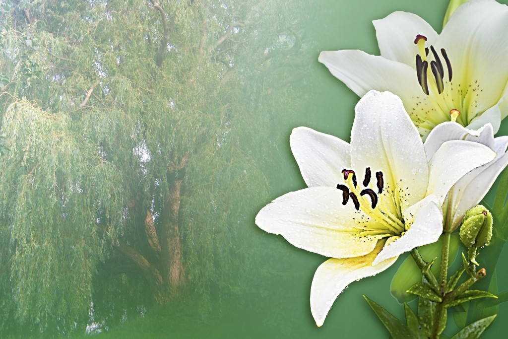 lilies-416625_1920